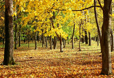 Autumn tree with golden leaves in sunlight Stock Photos