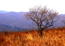Autumn, tree on golden meadow Royalty Free Stock Image