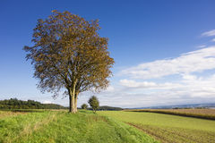 Autumn tree in green field rural landscape Stock Photos