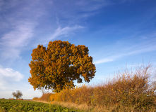 Autumn tree and hedgerow brilliance Royalty Free Stock Photos