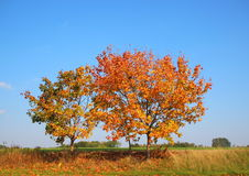 Autumn tree on hill top with fresh color Royalty Free Stock Photography