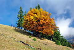 Autumn tree on hillside Stock Photography