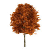 Autumn tree isolated. Platanus Stock Photography