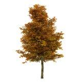 Autumn tree isolated. Platanus Royalty Free Stock Photos