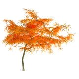 Autumn tree isolated. Royalty Free Stock Images
