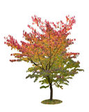 Autumn tree isolated on white Royalty Free Stock Photo