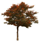 Autumn tree isolated on white background Royalty Free Stock Photo