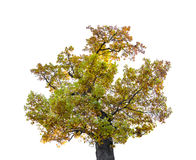 autumn tree isolated on white background. stock photo