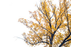 Autumn tree Stock Image