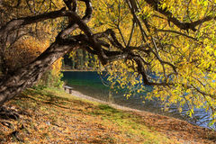 Autumn tree on the lakeside Royalty Free Stock Photos