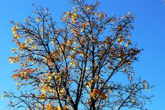 Autumn tree with last leaves on blue sky. The last colorful leaves on a isolated tree in fall on a sunny day with perfect blue sky. In autumn, leaves change stock images
