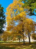 Autumn tree on lawn Royalty Free Stock Photography