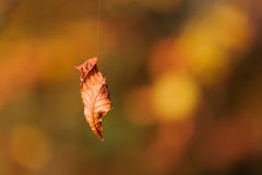 Autumn tree leaf dangling by spiders line Royalty Free Stock Photo