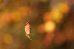 Autumn tree leaf dangling by spiders line Royalty Free Stock Images