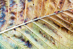 Autumn tree leaf, macro photo with selective focus Royalty Free Stock Photography