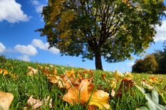 Autumn Tree with Leafs. Autumn Leafs on grass with tree in background Royalty Free Stock Image