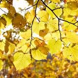 Autumn tree leaves Royalty Free Stock Image