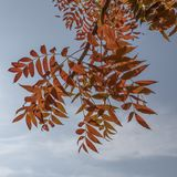 Autumn Tree Leaves against a Blue Sky Stock Photos