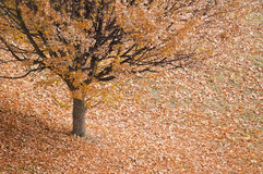 Autumn tree with Leaves Around. Tree surrounded with fallen Autumn leaves stock photography