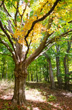 Autumn tree leaves changing color Royalty Free Stock Image