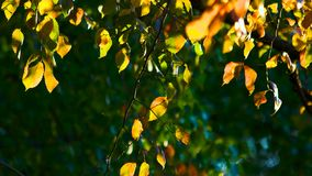 Autumn tree leaves close up. Focused tree branch stock footage
