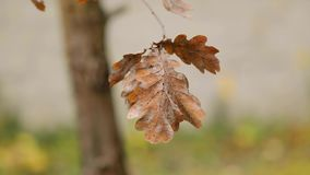 Autumn tree leaves. Dry autumn leaves on a tree branch with camera motion parallax stock video