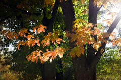 Autumn tree leaves Royalty Free Stock Photo