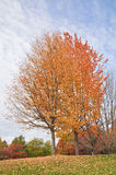 Autumn Tree. With leaves falling Stock Image