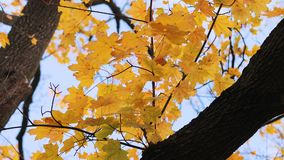 Autumn tree leaves. Tree in a park in autumn, colorful leaves starting to fall stock video footage