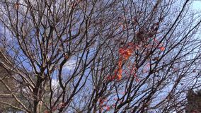 Autumn tree and leaves at the park. In Kyoto, Japan stock video
