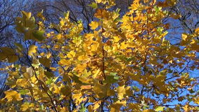 Autumn tree leaves pile. Golden autumn tulip-tree tree leaves move in wind on sky background and pile of raken leaves in garden stock footage
