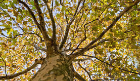 Autumn tree look-up royalty free stock photography
