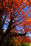 Autumn tree looking up Stock Image