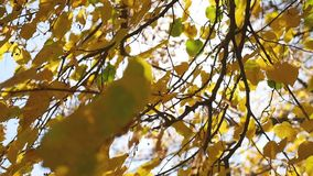 Autumn tree maple leaves swaying in the wind, sun glare sunlight. Autumn tree maple leaves swaying in wind, sun glare sunlight stock video footage