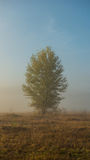 Autumn tree on the meadow in a fog sunny day Stock Images