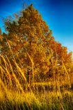 Autumn tree on meadow over blue sky background Royalty Free Stock Photography