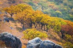 Autumn tree on the mountain Royalty Free Stock Image