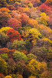 Autumn tree in mountain Royalty Free Stock Images