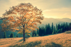 Autumn tree in mountains landscape,  vintage Stock Image