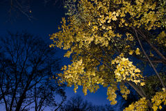 Autumn tree in the night Stock Image