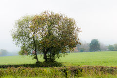Autumn tree. Not full yellow, foggy morning, captured at Gloucestershire, England Royalty Free Stock Photos