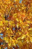 Autumn tree oak leaves and branches Stock Images