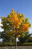 Autumn Tree with orange, yellow and golden leaves against blue s Royalty Free Stock Image