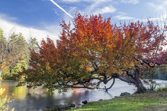 Autumn Tree Over the River Stock Photo