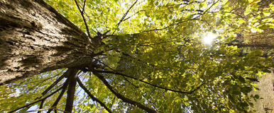 Autumn Tree Panorama. Looking up at a large tree with sunlight filtering through the leaves royalty free stock photography