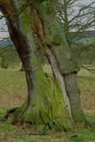 Autumn Tree, parco di Chatsworth, Chatsworth, Derbyshire Fotografia Stock Libera da Diritti