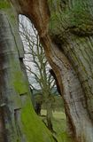 Autumn Tree, parco di Chatsworth, Chatsworth, Derbyshire Fotografie Stock