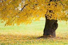 Autumn tree in the park Stock Photos