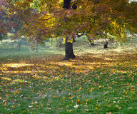 Autumn tree in a park Stock Image