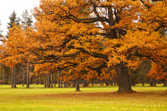 Autumn tree in park Royalty Free Stock Image